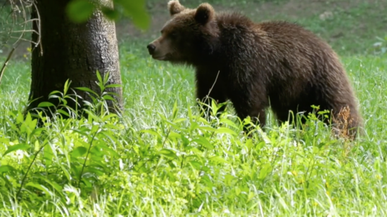El retorno del oso